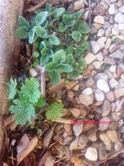Motherwort, an herbal ally, begins her spring growth