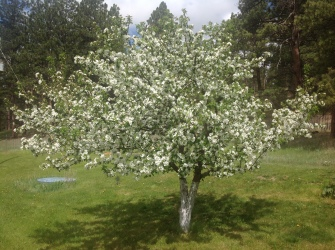 The Dalgo Crab Apple